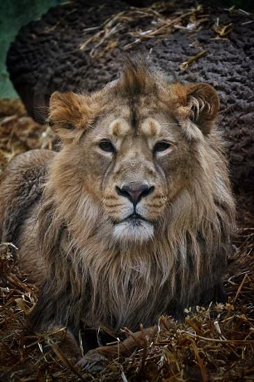 Asian lion portrait photo