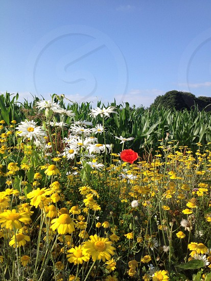 flower field beside corn field photo