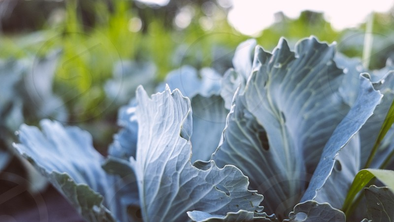 Fall cabbage still in the field before harvest. Organically grown in Iowa. photo
