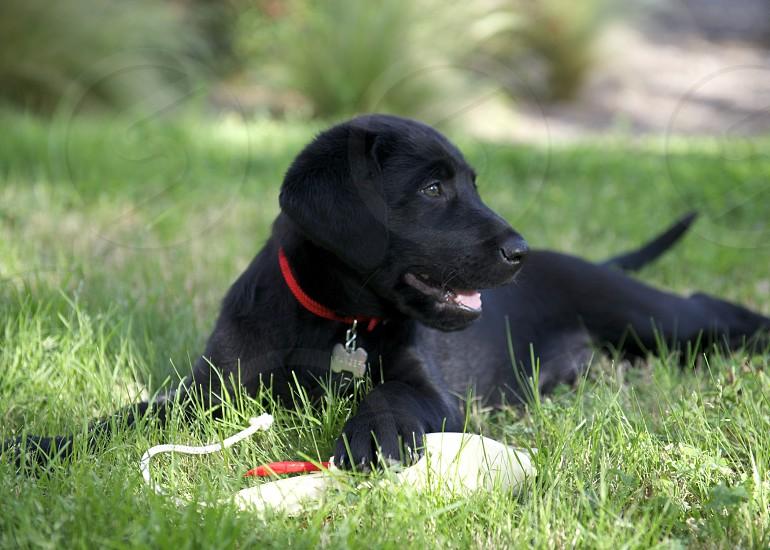Black Labrador Future Hunter photo