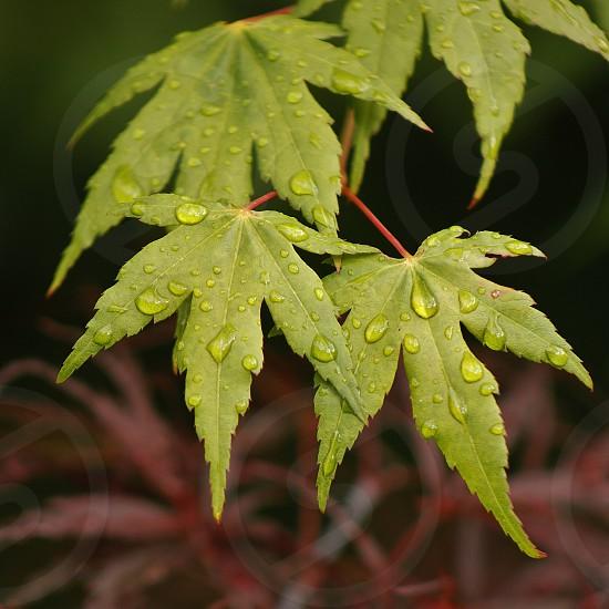 green marijuana leaf photo