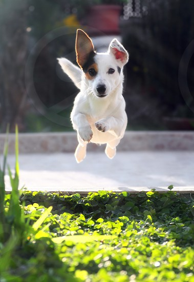 Jumping jack russell terrier for thrown ball aport. photo