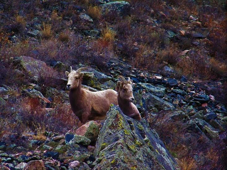 Bighorn sheep Rockies Colorado photo