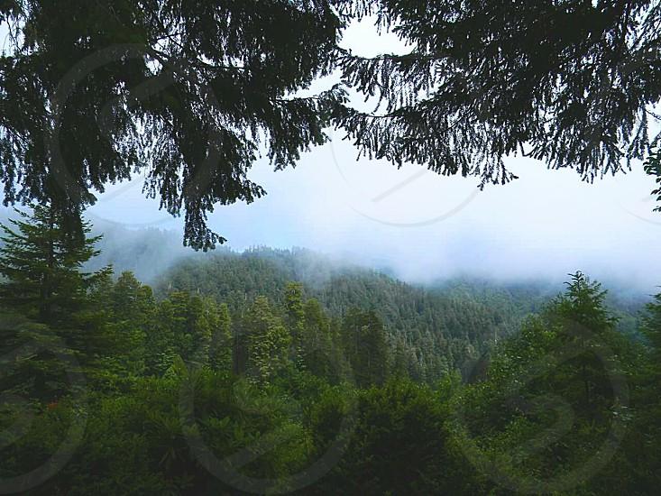 Redwood treeline in California. photo