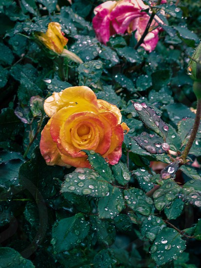 Droplets Rose yellow pink photo