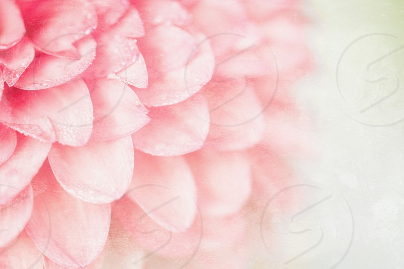 A dahlia with dew drops.  Processed in Faded with Tioga and Emulsion filters. photo