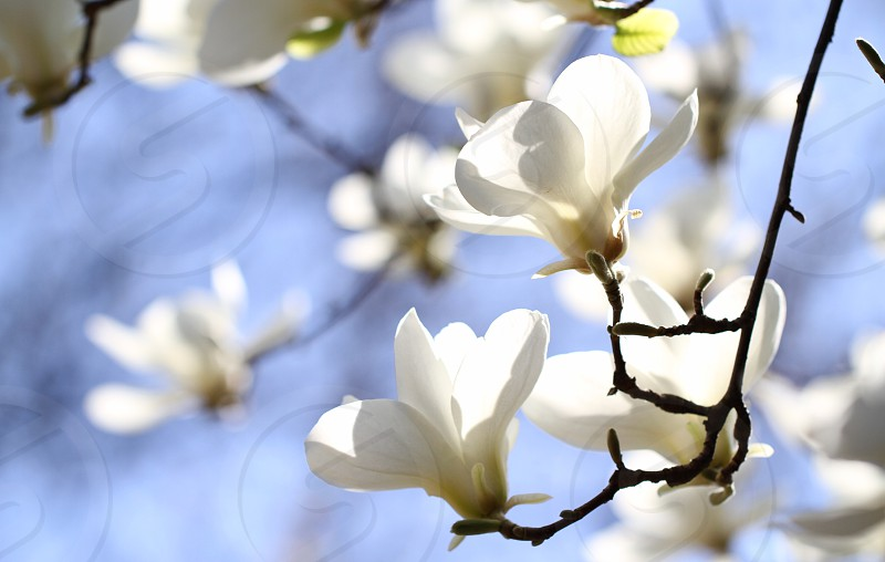 Bloom blossom blooming magnolia spring flowers light background shine fresh sunny sensitive photo
