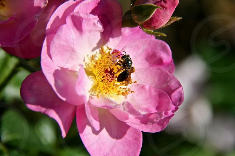black bee on pink flower photo