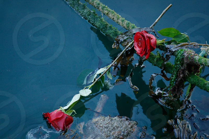 Discarded red roses floating near a pier in Barfleur France. photo