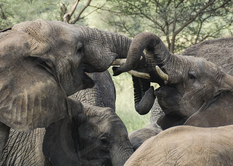 """""""Let's play"""" Two young adult elephants sparring for fun. Photo made in Ndutu Tanzania. photo"""
