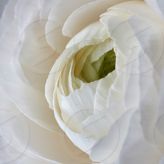 close up white rose flower natural background Valentine's Day Mother's Day photo