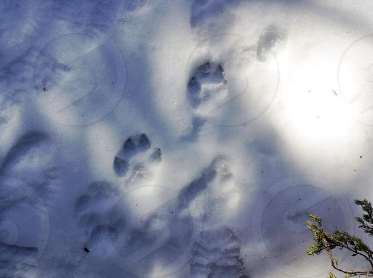 paw print on snow photo
