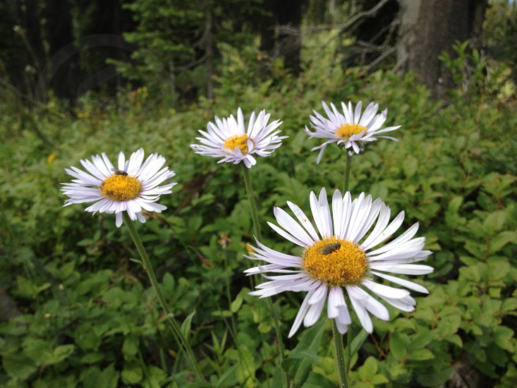 Flowers in BC mountain hiking path. Bugs on flowers. photo