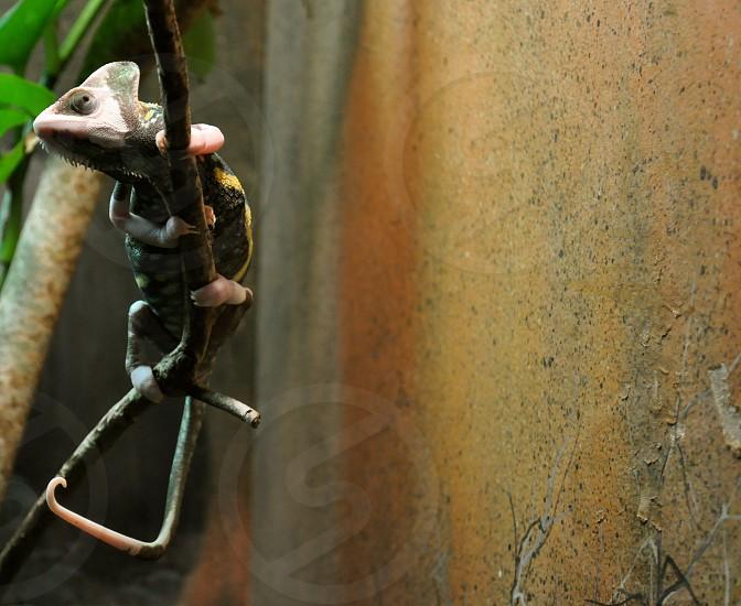Lizard climbs on a stick photo