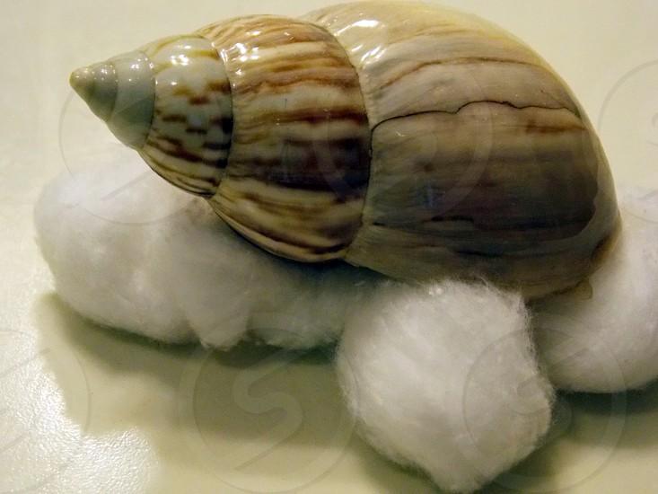beige seashell on top of cotton balls photo