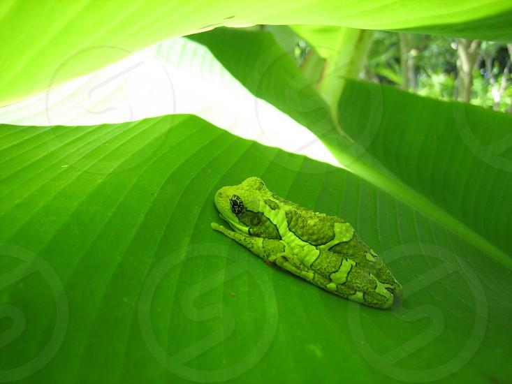 Tree frog on banana leaf photo