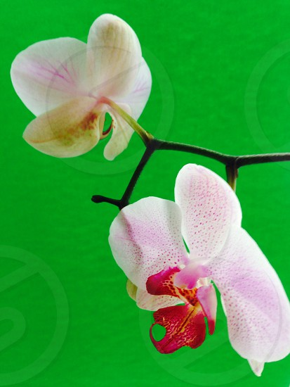 white-and-pink orchid flowers photo