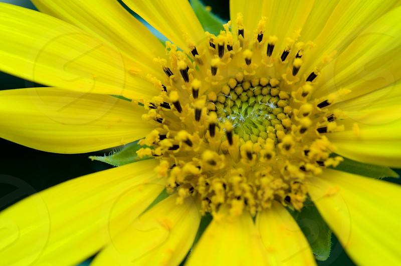 Flower pollen photo