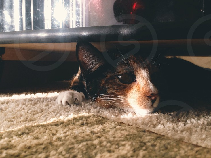 black orange and white domestic cat photo