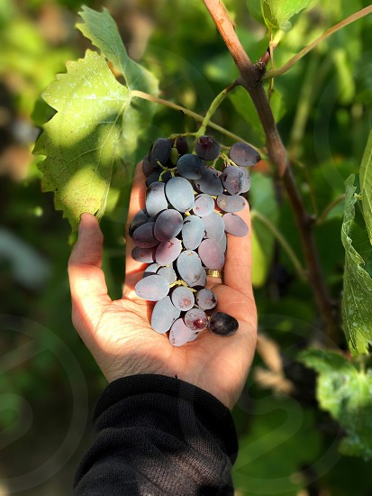 Grapes wine hand holding  photo