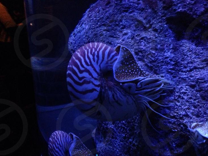 Nautilus sea creature photo