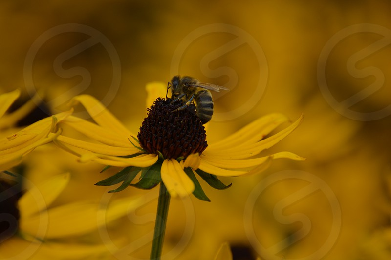 yellow flowers background with a focus bee pollinating one yellow flower photo