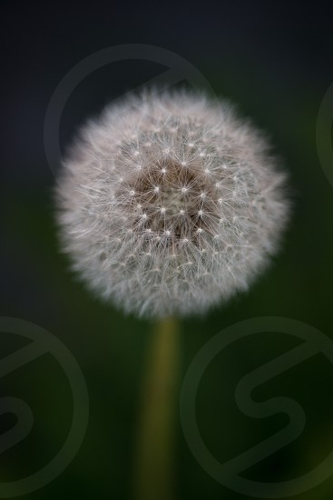 The delicate geometry of a dandelion 2 photo