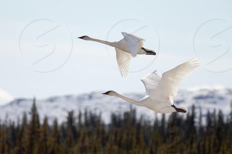 Graceful mating pair of adult white trumpeter swans Cygnus buccinator flying over forest with their necks extended as they migrate to their arctic nesting grounds with copyspace photo