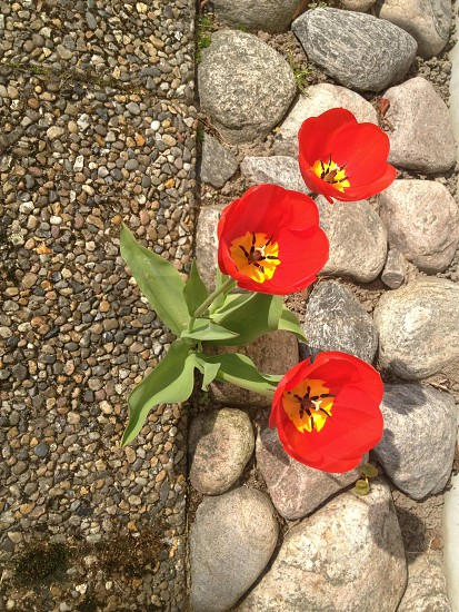 red pansies flower photo