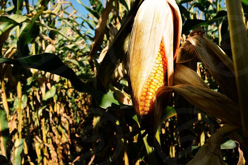 Corn hanging in field photo