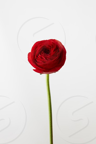 Valentine's Day flower of red ranunculus isolated on white background photo