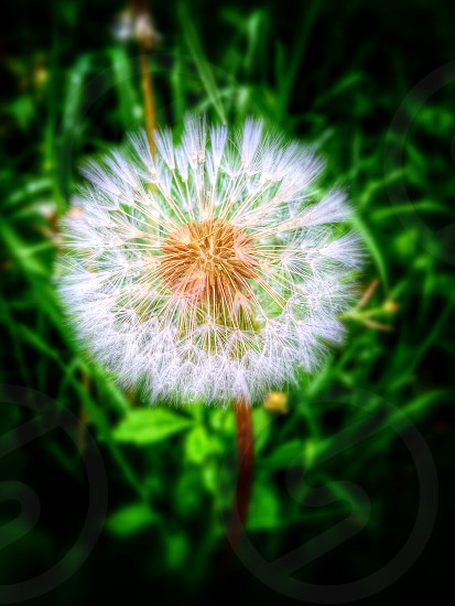 Dandelionflowers photo