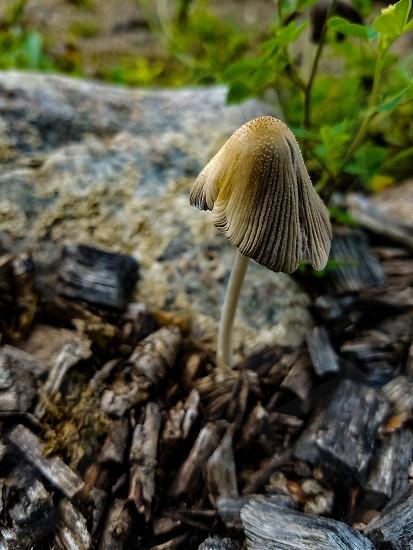 Mushroom in the Mulch photo