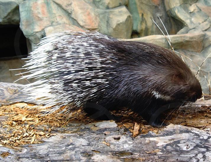 black and grey porcupine photo