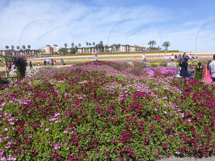 The Flower Fields photo