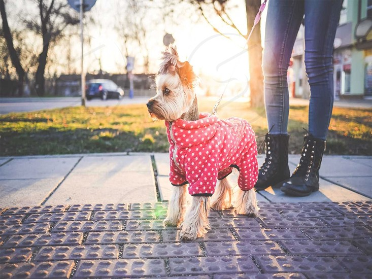 dog mascot dressed by its owner on the street photo