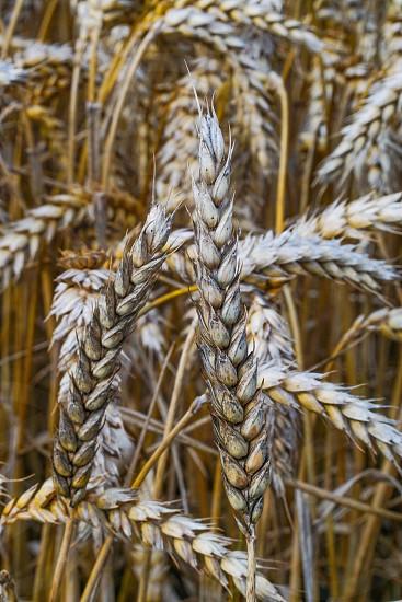 yellow wheat sheafs in wheat field background photo