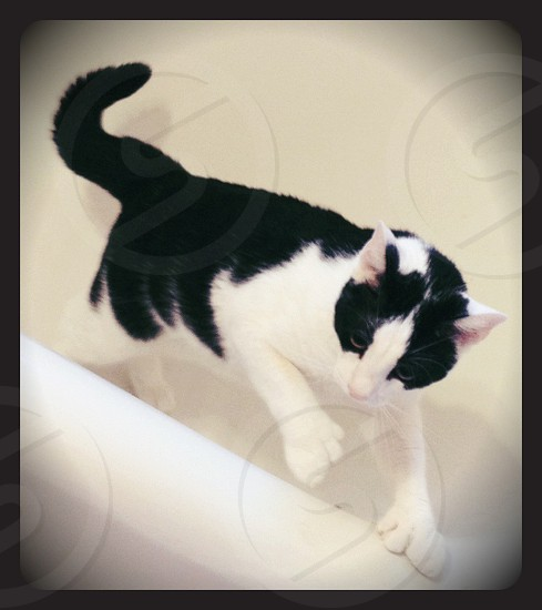 Kitty cat bathtub black and white double pawed cat hugepaws massive hands  photo