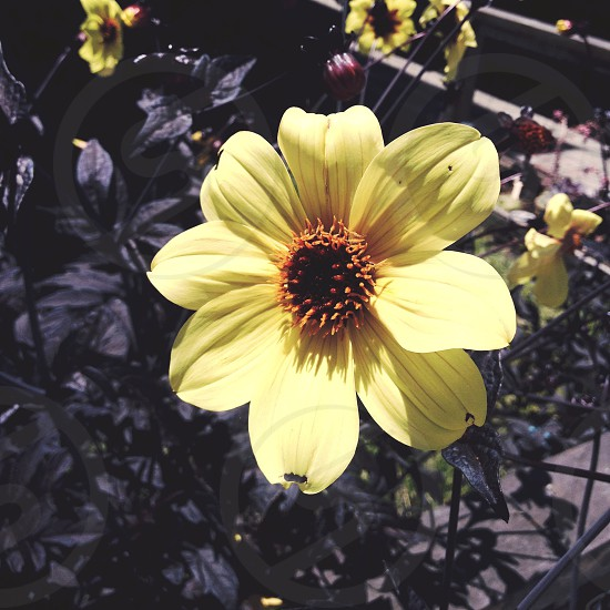 Pop of color yellow flower photo