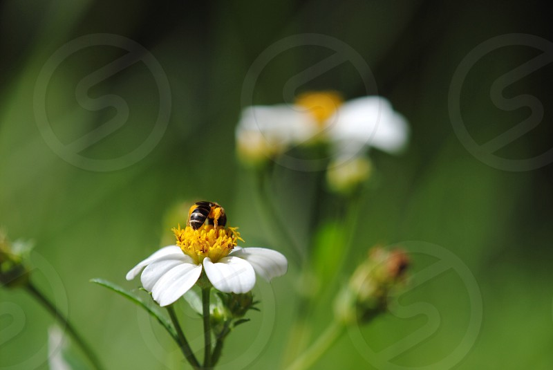 black and white bee on yellow pollen photo