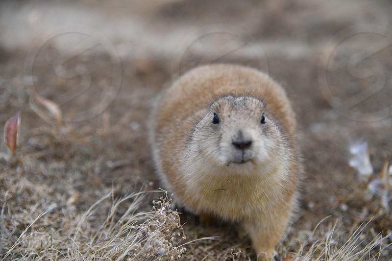 A wild prairie dog close up. photo