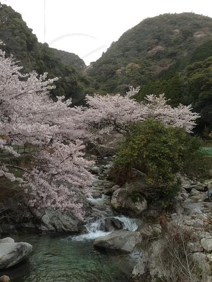桜、さくら、サクラ、川、木、水、緑、自然、春 photo