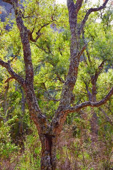 Castellon alcornocal in Sierra Espadan cork tree forest in Valencian Community of Spain photo