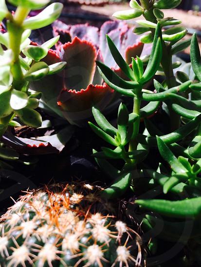 Macro Succulents  photo