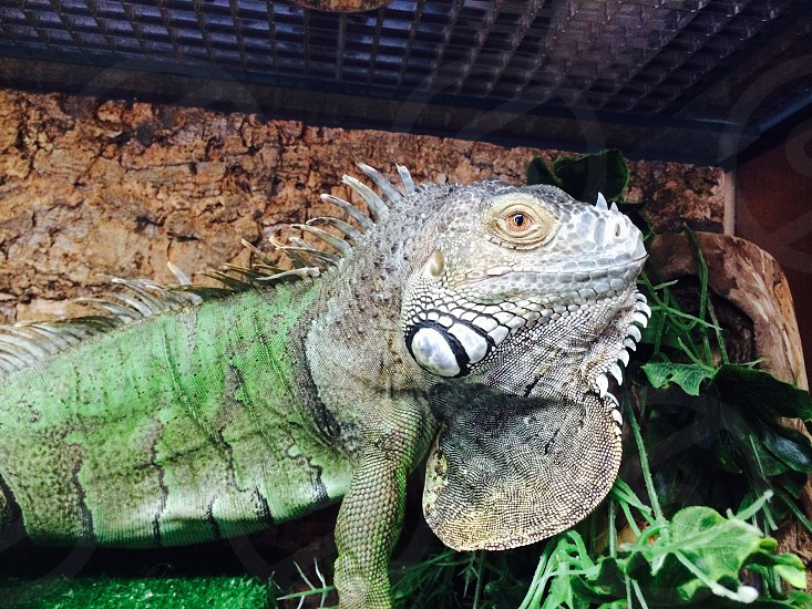 gray and green iguana in container photo