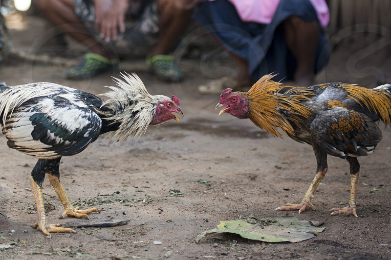 a coock fight training in the Village of Sangkhlaburi north of the City of Kanchanaburi in Central Thailand in Southeastasia.   photo