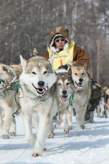 KAMCHATKA RUSSIA - MARCH 9 2013: Running dog sledge team Kamchatka musher Ivan Nivani. Traditional Kamchatka extreme Dog Sledge Race Beringia. Russian Federation Far East Kamchatka Peninsula. photo