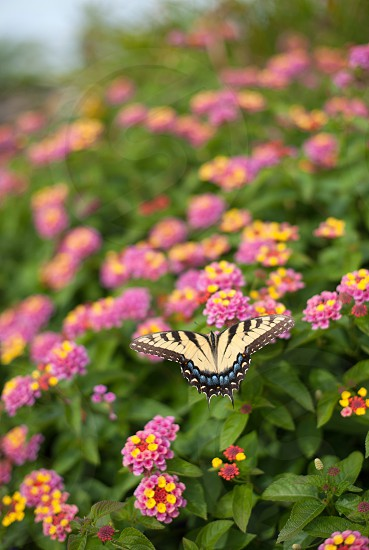 Butterfly perched on pink and yellow flowers photo