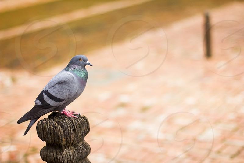 A beautiful dove in Durbar Square in Kathmandu Nepal.  photo