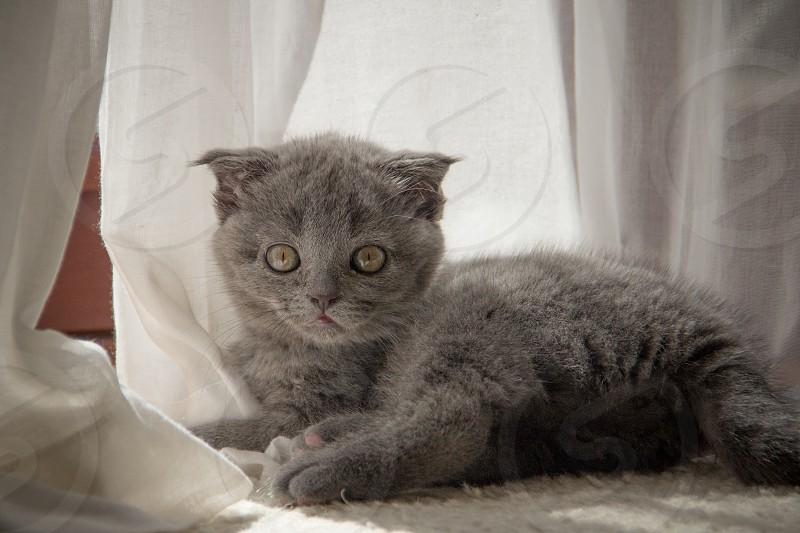 Scottish Fold kitten photo